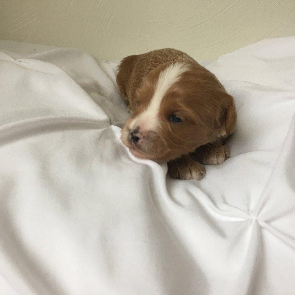 cavapoochon puppy size