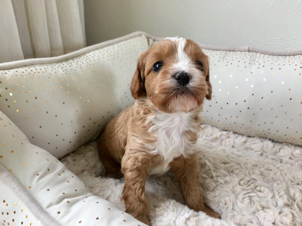 Cavapoochon puppy male