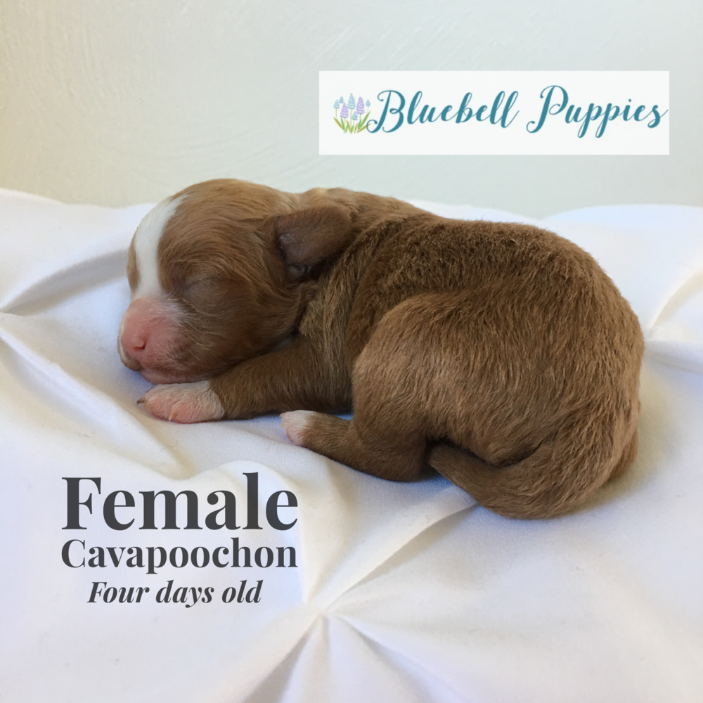 cavapoochon puppy girl female