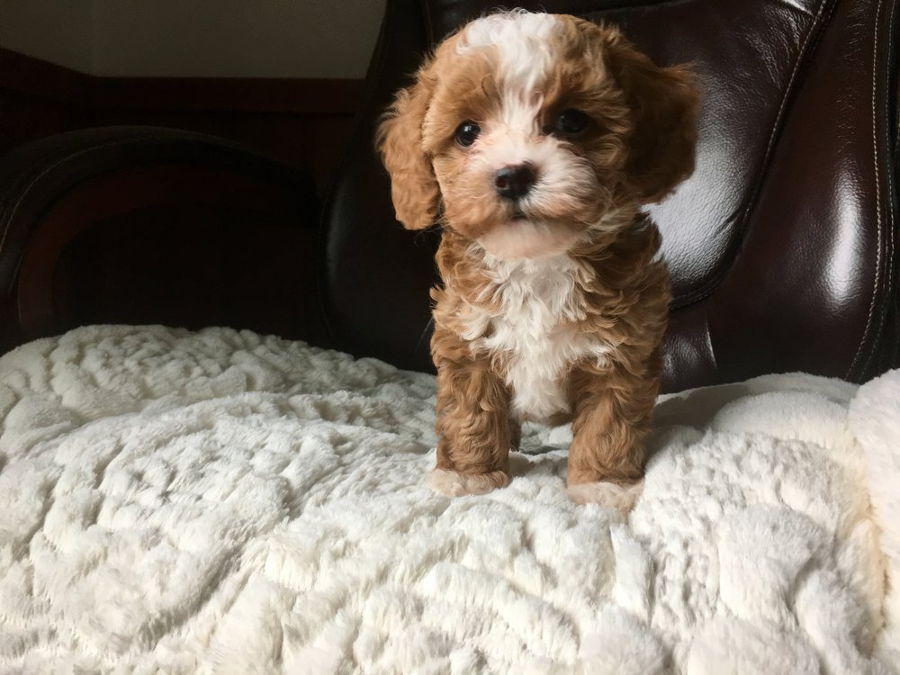 cavapoochon puppy for sale girl