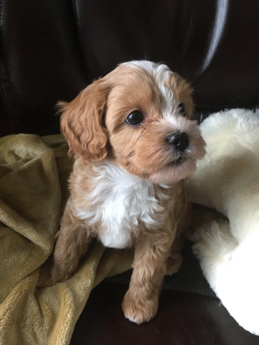 cavapoochon puppy for sale ohio