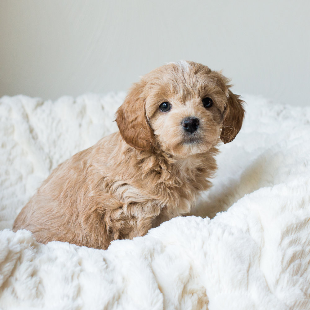 Brooklyn, Calie - Cavapoochon Puppy.jpg