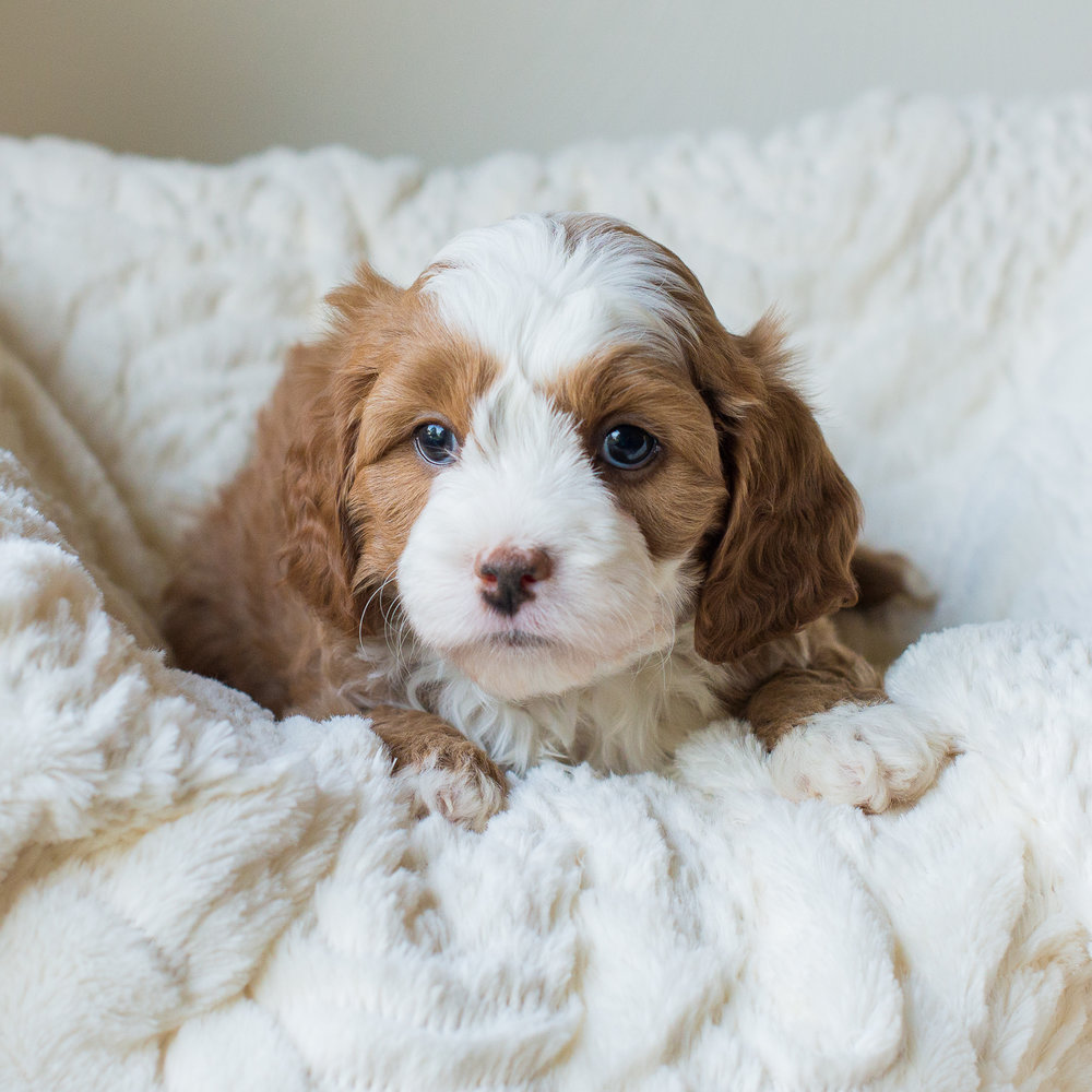 Calie, Dallas - Cavapoochon Puppy.jpg