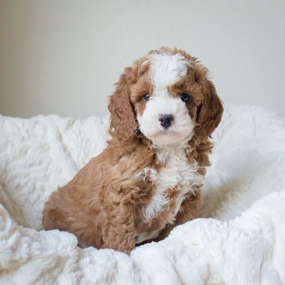 Calie, Gizmo - Cavapoochon Puppy.jpg