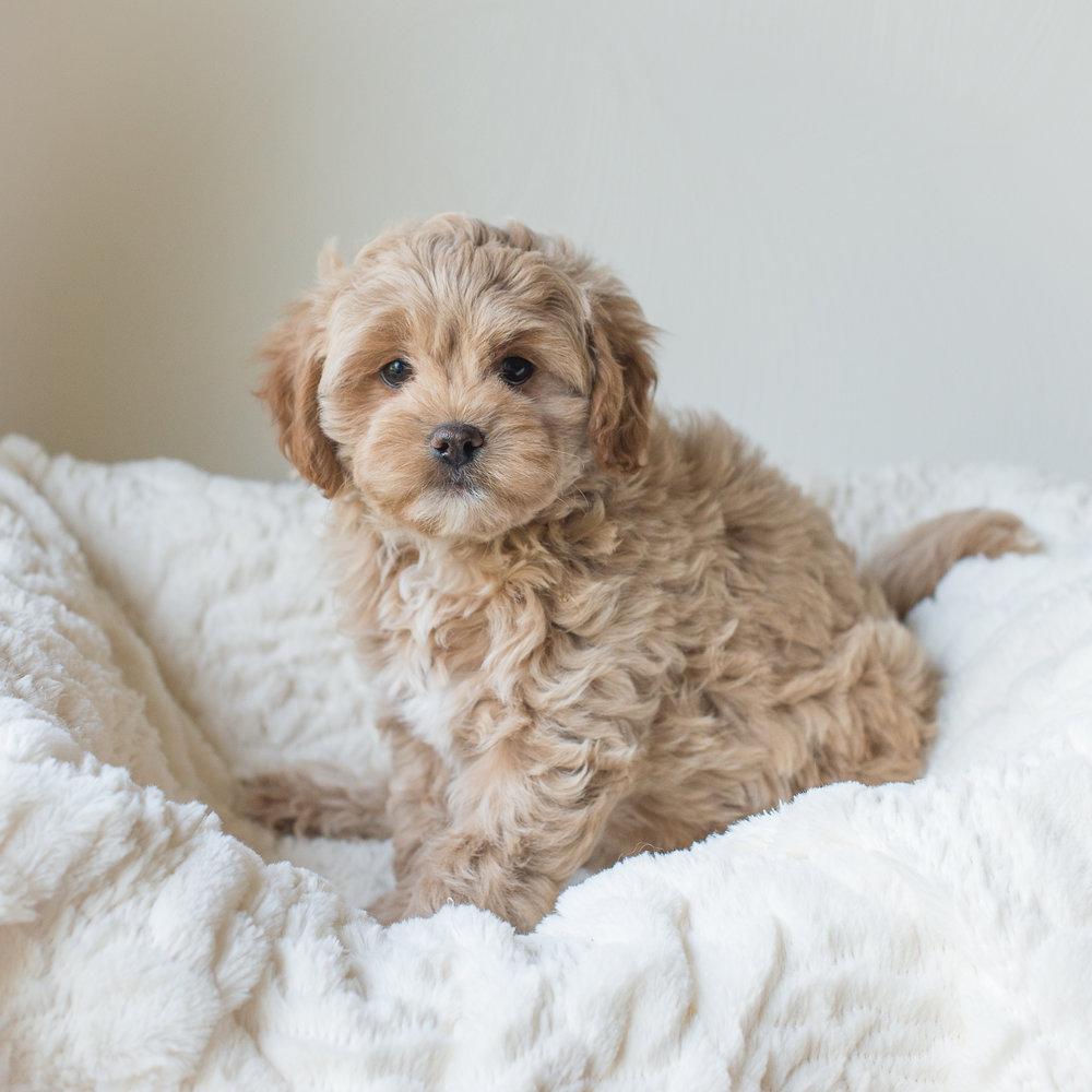 Ginger, Rosie - Cavapoochon Puppy.jpg