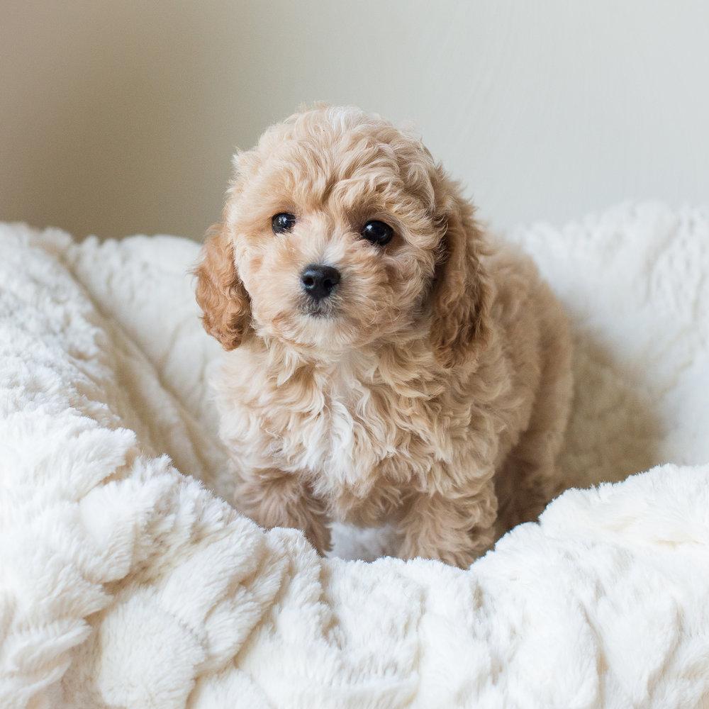 Henry, Susie - Cavapoochon Puppy.jpg