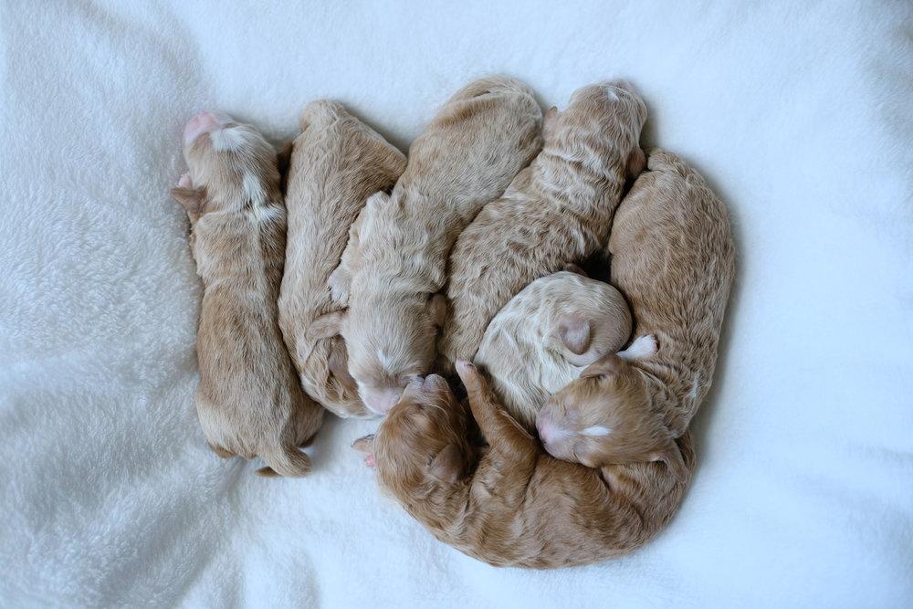 new cavapoochon puppies