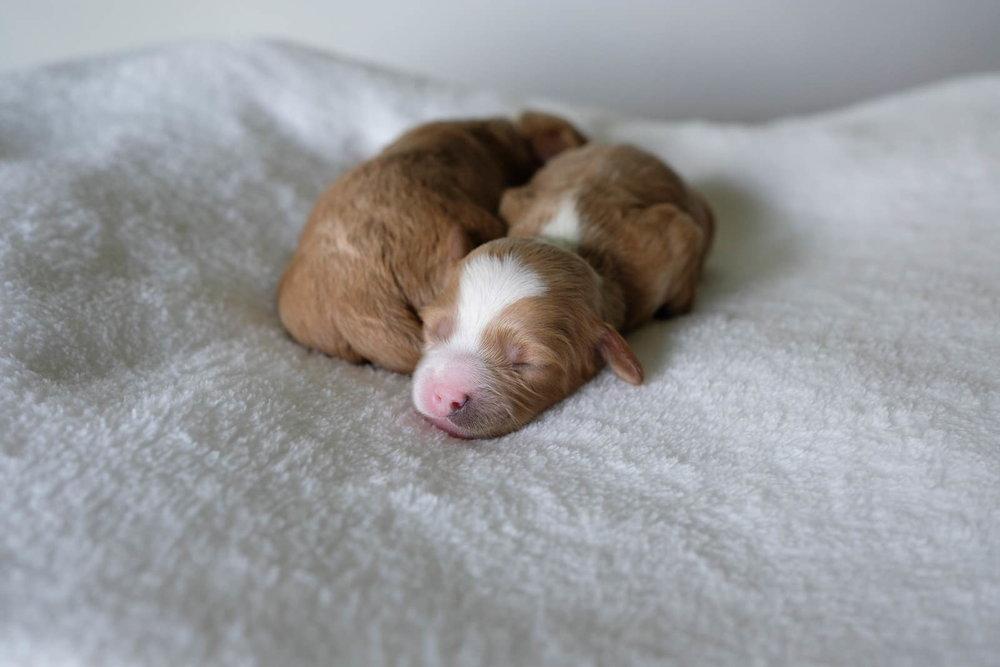 cavapoochon puppy girl