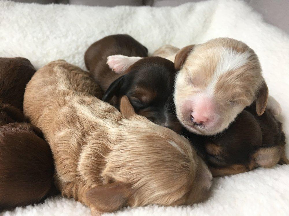 cavapoochon puppies