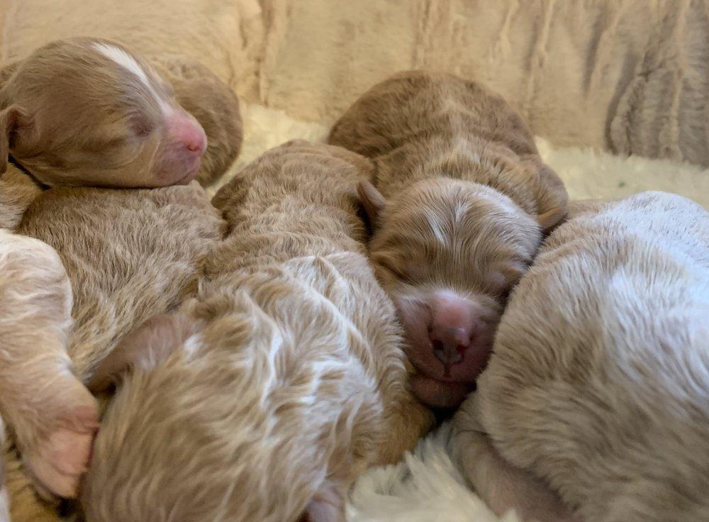 Cavapoochon puppy boy snuggled in between his siblings.