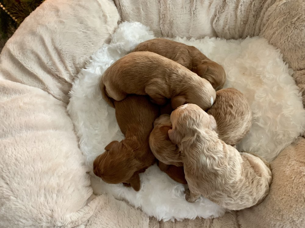 cavapoochon puppy for sale