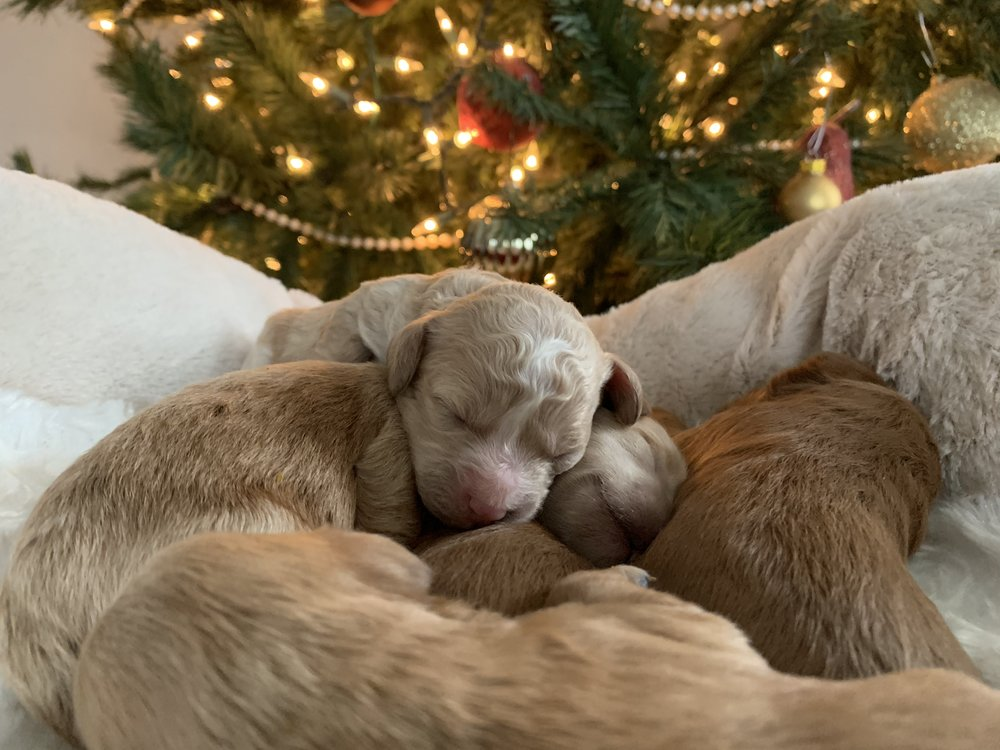 Cavapoochon puppy girl - apricot with white blaze