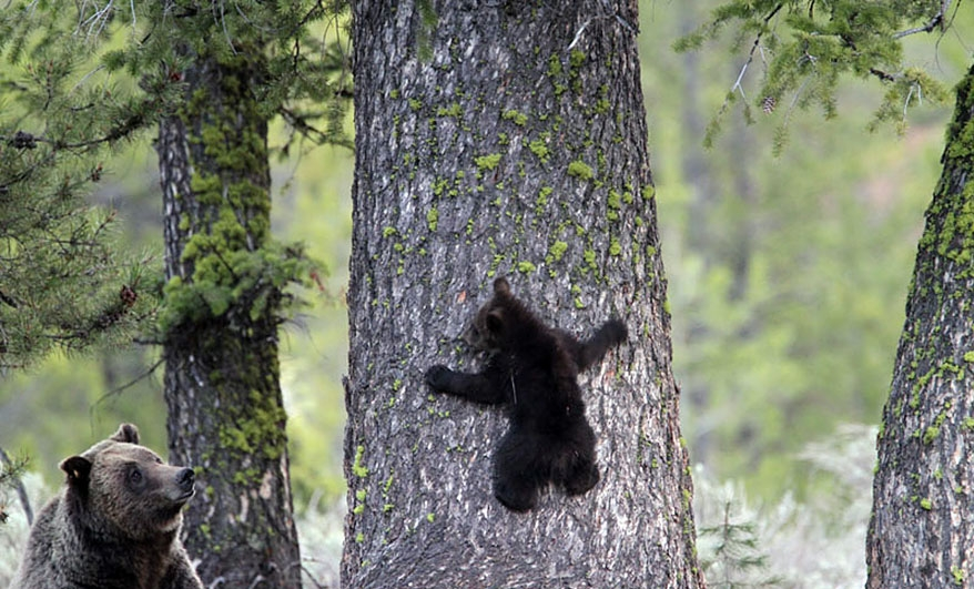 Mama watches cub practice climbing skills in Grand Teton National Park. Gary Pollock Photoraphy
