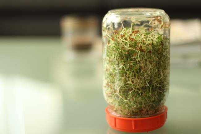 Day 5 of sprouting. Now we have the real thing: a whole quart of freshly grown alfalfa sprouts for hippie sandwiches everywhere.