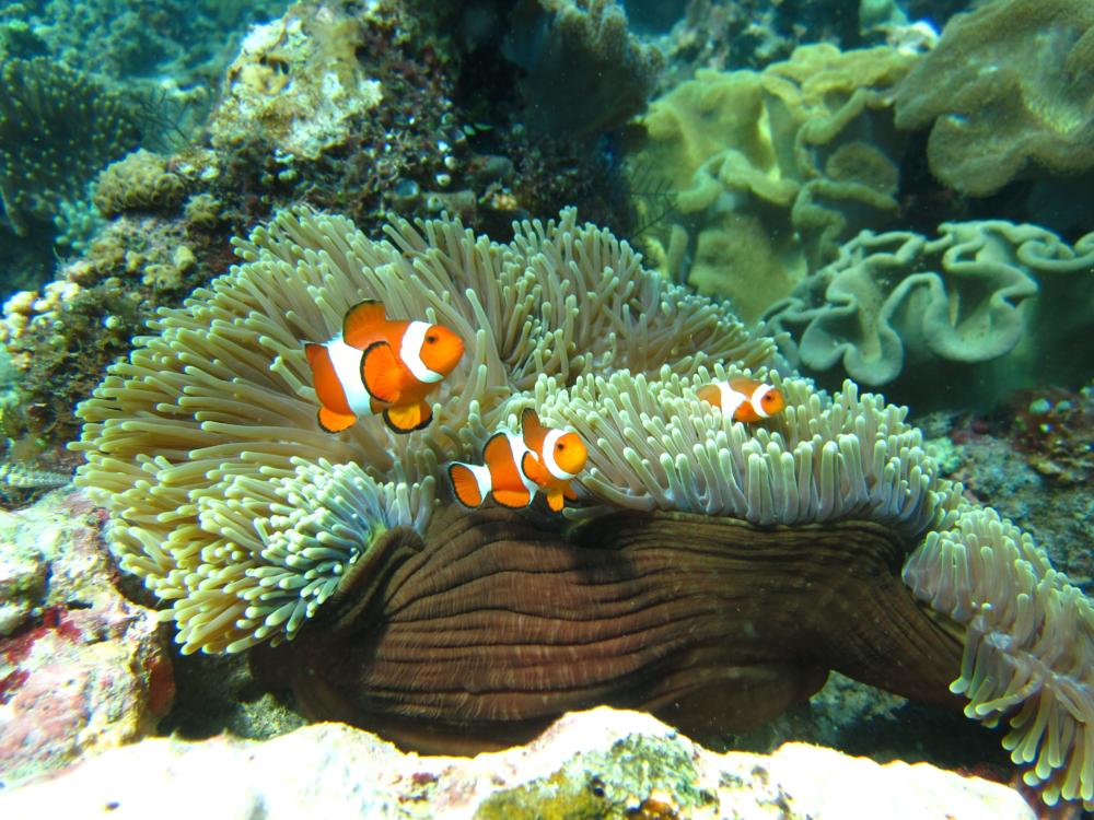 Anemonefish in Timor-Leste.