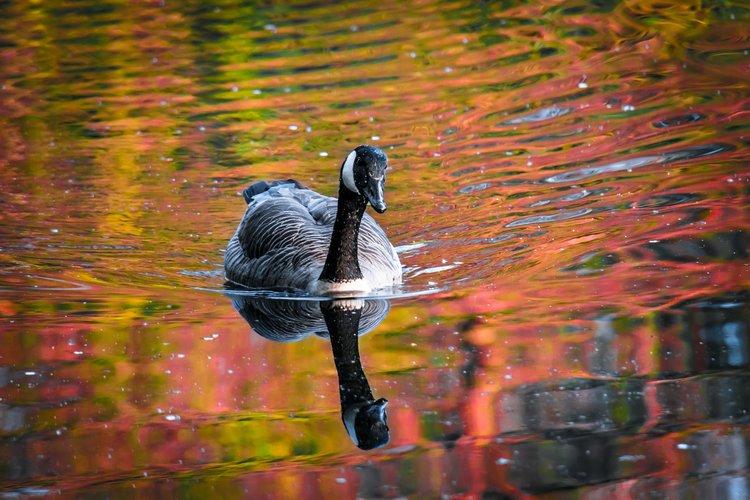 Goose.jpeg