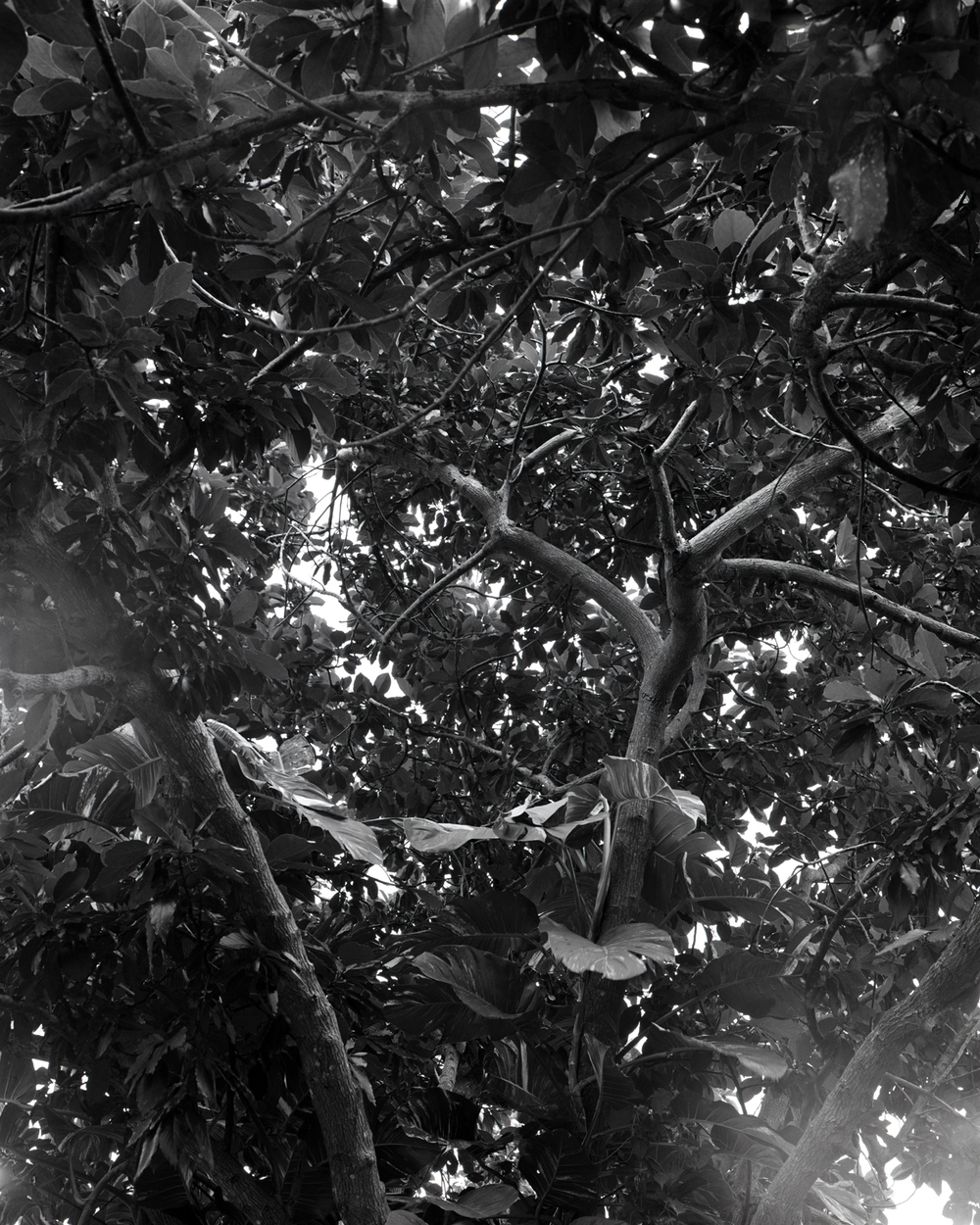 Third Surviving Avocado Tree, 2015