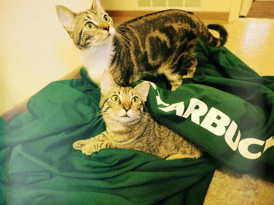 Roscoe and Alton in their new cat bed - a starbucks umbrella
