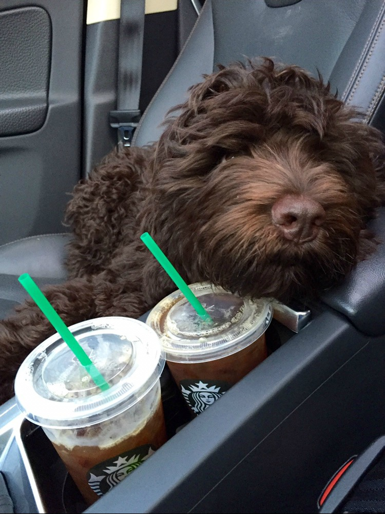 1 - 1 - image Lucky stands guard of the Starbucks Drinks