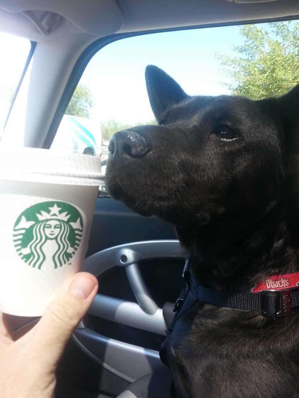 20140721_103158-Augie-getting-his-weekly-Starbucks-Puppuccino.jpg