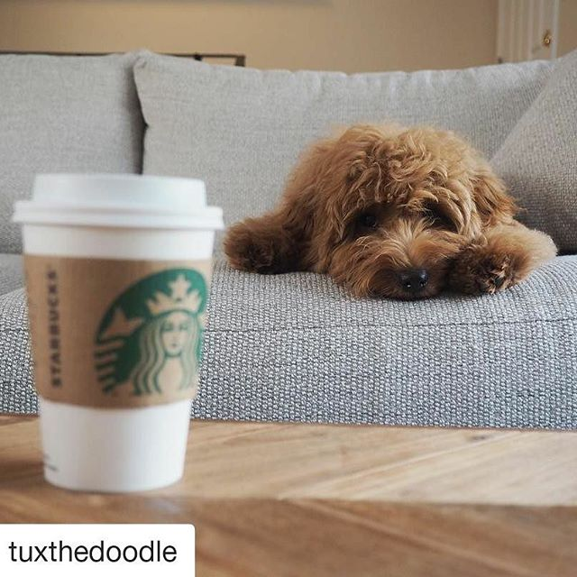 #Repost @tuxthedoodle (@get_repost) ・・・ Monday. Need. Coffee ☕️ Anyone else 🙋🏼‍♂️ . . . . #goldendoodle #goldendoodlesofinstagram #goldendoodlesofinsta #doodles #doodlesofinstagram #petstagram #rollinsdoodles #starbucks #petsofstarbucks #starbucksburlingameave  #dogsofinstagram #puppiesofinstagram #mondaymotivation #dailybarker #picoftheday #dogfeatures #thedogist #doodlesunited #doodlesofcalifornia #doodleclan #allfluffdoodles