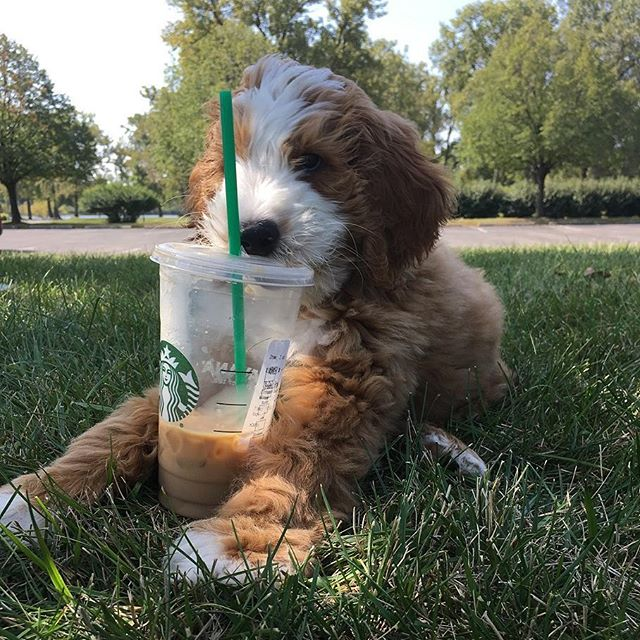 Summer life! Relaxing on a gorgeous day with #starbucks #petsofstarbucks #dogsofinstagram