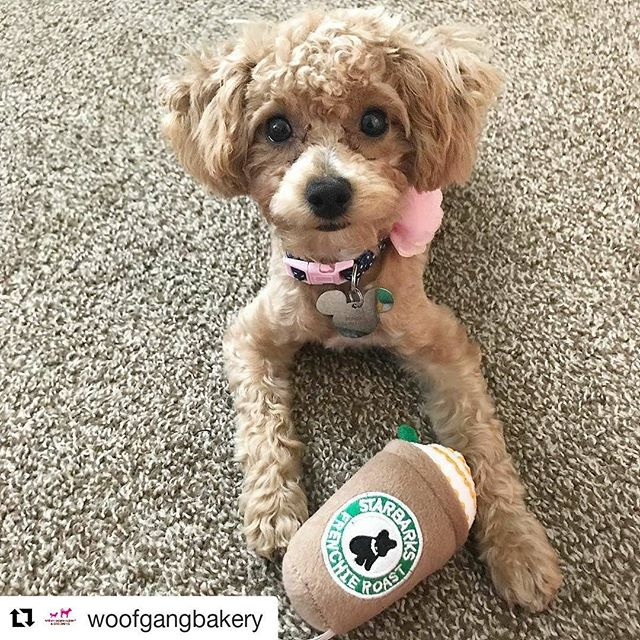 #Repost @woofgangbakery (@get_repost) ・・・ @poodlepunzie - Mom says this toy makes me basic 🐶🐾💁🏼 but who cares!!! It's Friday!!!. . . . . . #starbucks #starbarksfrenchieroast #woofgangbakery #basicbitch #basic #basicpup #punzie #coolangel369 #toypoodlesofficial #barkzweekly #petloverz1 #toypoodle #pupper #puppiesofinstagram #toypoodlelove #dogsofla #thepuppytown #worldofcutepets #thewoofdaily #dogsofinstaworld #dogsofig #dogsofinstagram #poodlesofinstagram #toypoodlesofinstagram #poodleoffical #petsagram #dogsbeingbasic