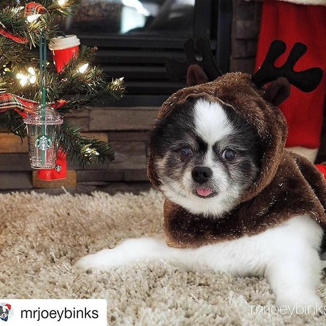 Such a cute doggy! Love the tree's ornaments.  #Repost @mrjoeybinks (@get_repost) ・・・ Patiently waiting for the festivities to begin! 🎅🏻🎄🎁 🎅🏻 🎅🏻 🎅🏻 🎅🏻 #mrjoeybinks #coolangel369 #reindeerdogs #santashelper #christmasdog #photography #starbucks #dogphotography #dogs #cutepetclub #bestwoof #topdogphoto #milehighpooches #pom#pomeranian #pomeraniansofinstagram #pomeranianworld #justpomeranians #positivevibes #thedailypomeranian #partipom #dogoftheday #pomsofinsta #buzzfeedanimals #spitz