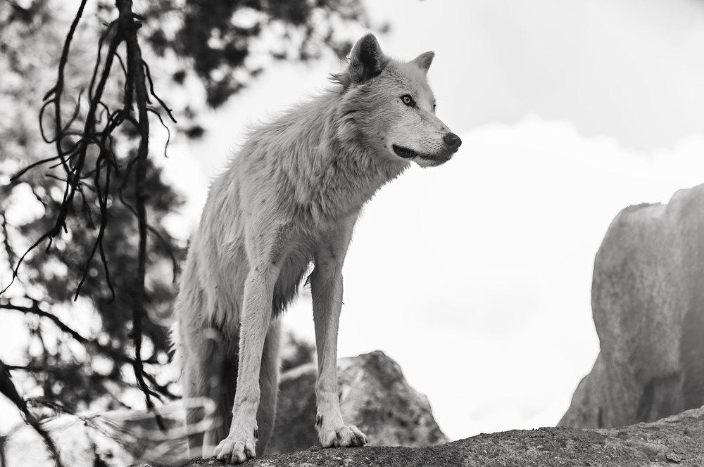 35.99 Days of Summer - White Wolf - Bearazona