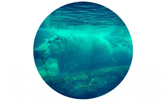 hippo || Christina Rosalie