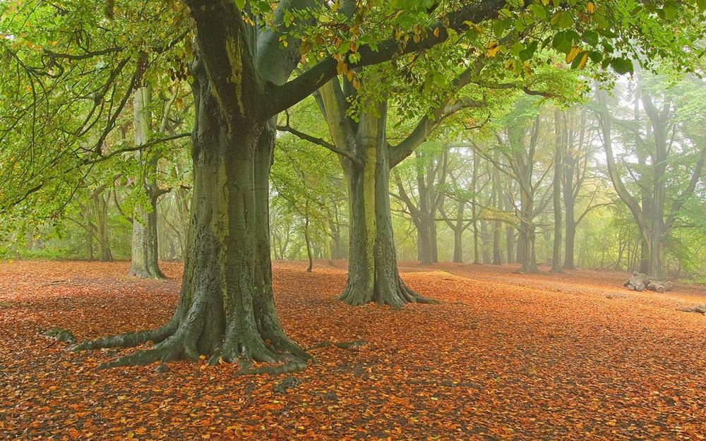 autumn-beech-trees.jpg