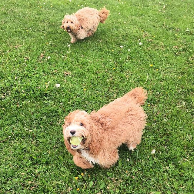 Seeing double with Ralphy + Skylar 😁 #cockapoo #cockerpoo #fluffbutts