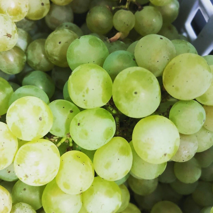 High quality Bacchus grapes