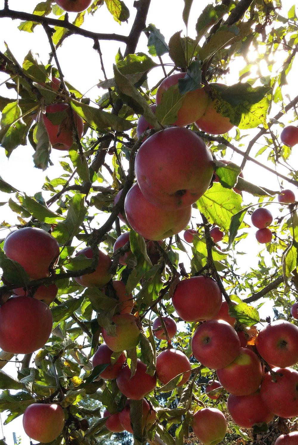 Einer der besten Momente im Spätsommer: im Apfelbaum sitzen, ernten, die Ruhe genießen und staunen über die Fülle, die einfach da ist, ohne dass wir etwas dafür tun müssen.