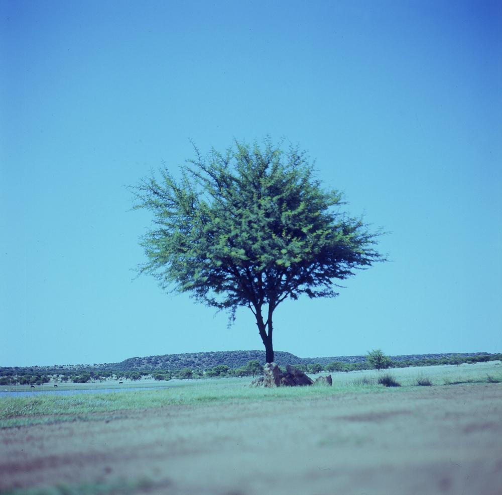 doringboom.jpg
