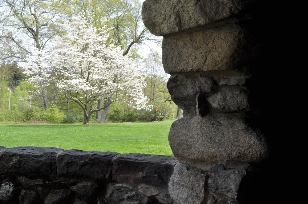 Blooming dogwood from Stonehurst arch jpeg.jpg