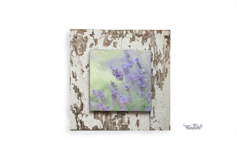 469 - Lavender fb.jpg