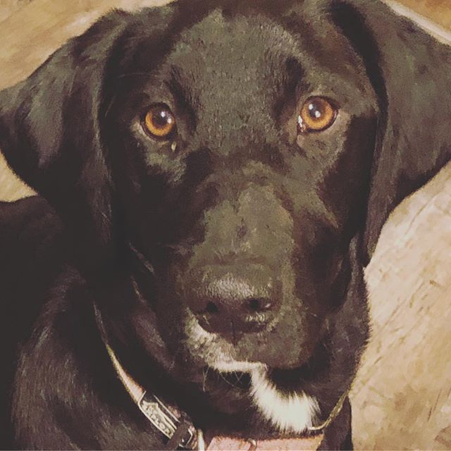 Bella just wanted to say hi and that she loves bacon and cheese and tortilla chips! #blacklabmix #imagesbylee #photography #pup #labmix #hounddog #imahounddog #puppy #dogsofinstagram #wisconsinlife