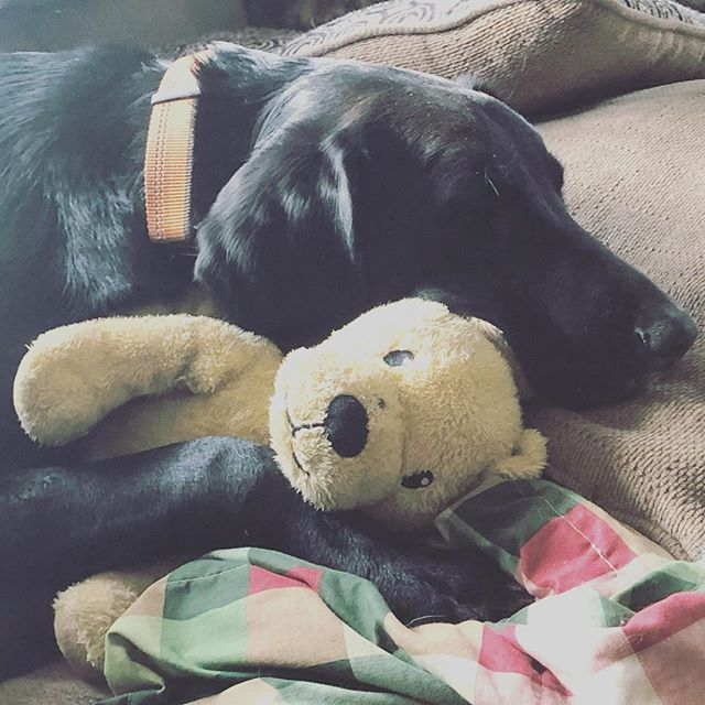 Bella taking an after Christmas Nap! Who else feels like a nap after the Holiday?! #naptime #labmix #puppylife #blacklab #hounddog #snooze #imagesbylee #photography #holiday #atesomuch #pup