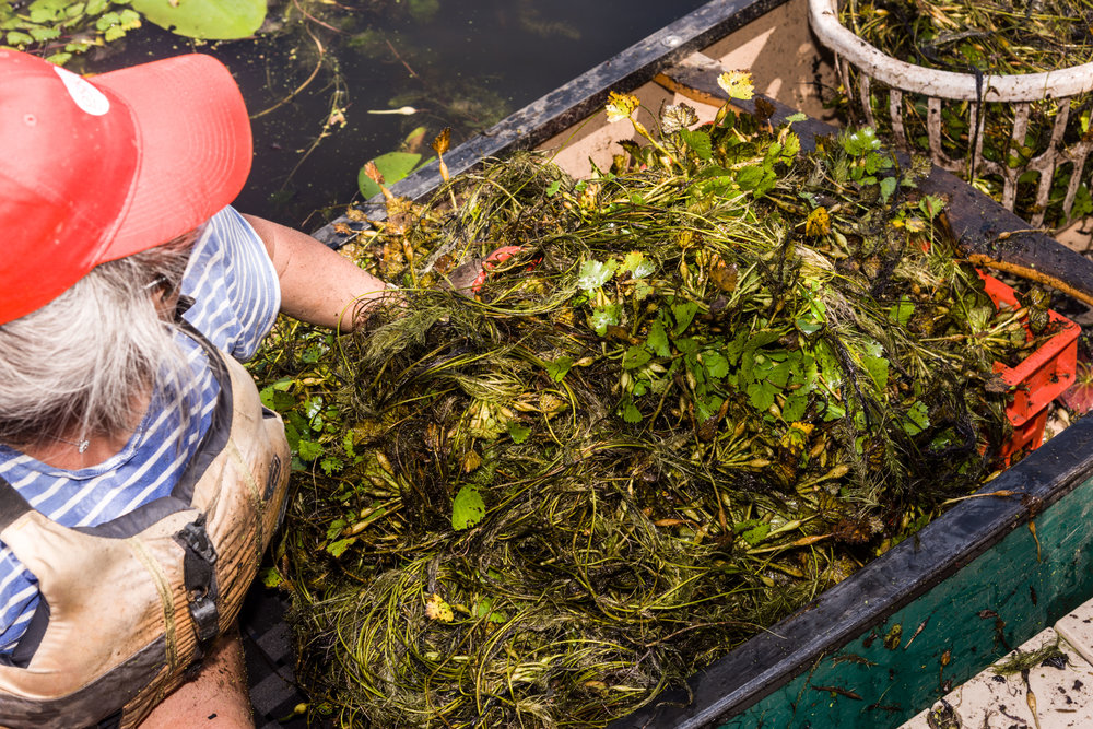 Water Chestnut Removal