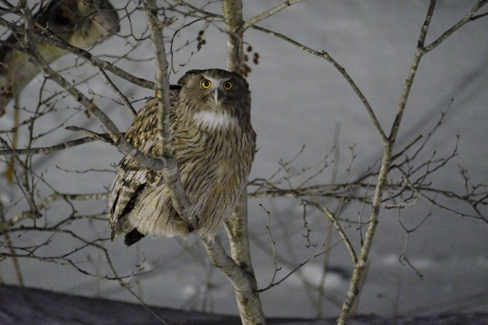 Blakiston's Fish Owl - XF 100-400mm @ 400mm F5.6, ISO 25,600, 1/15s handheld