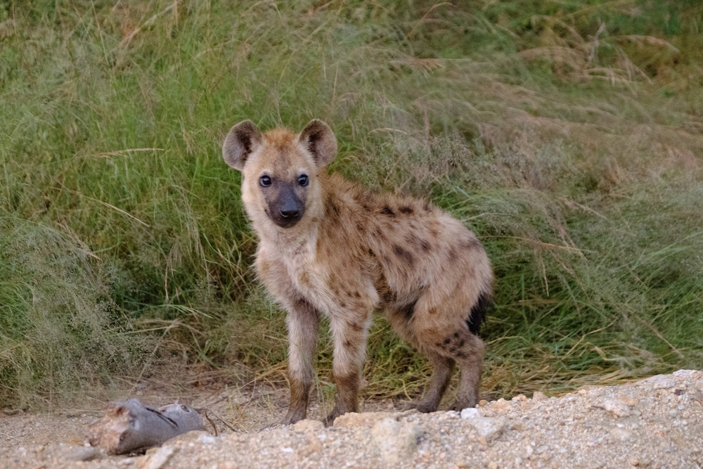 Hyena cub at first light, around 0543hrs - XF 50-140mm, 1/18s, F2.8, ISO 12800