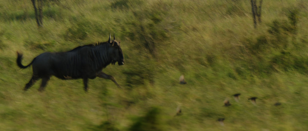 This charging Wildebeest was difficult to track with the centre AF points as it kept moving towards the left edge of the frame.