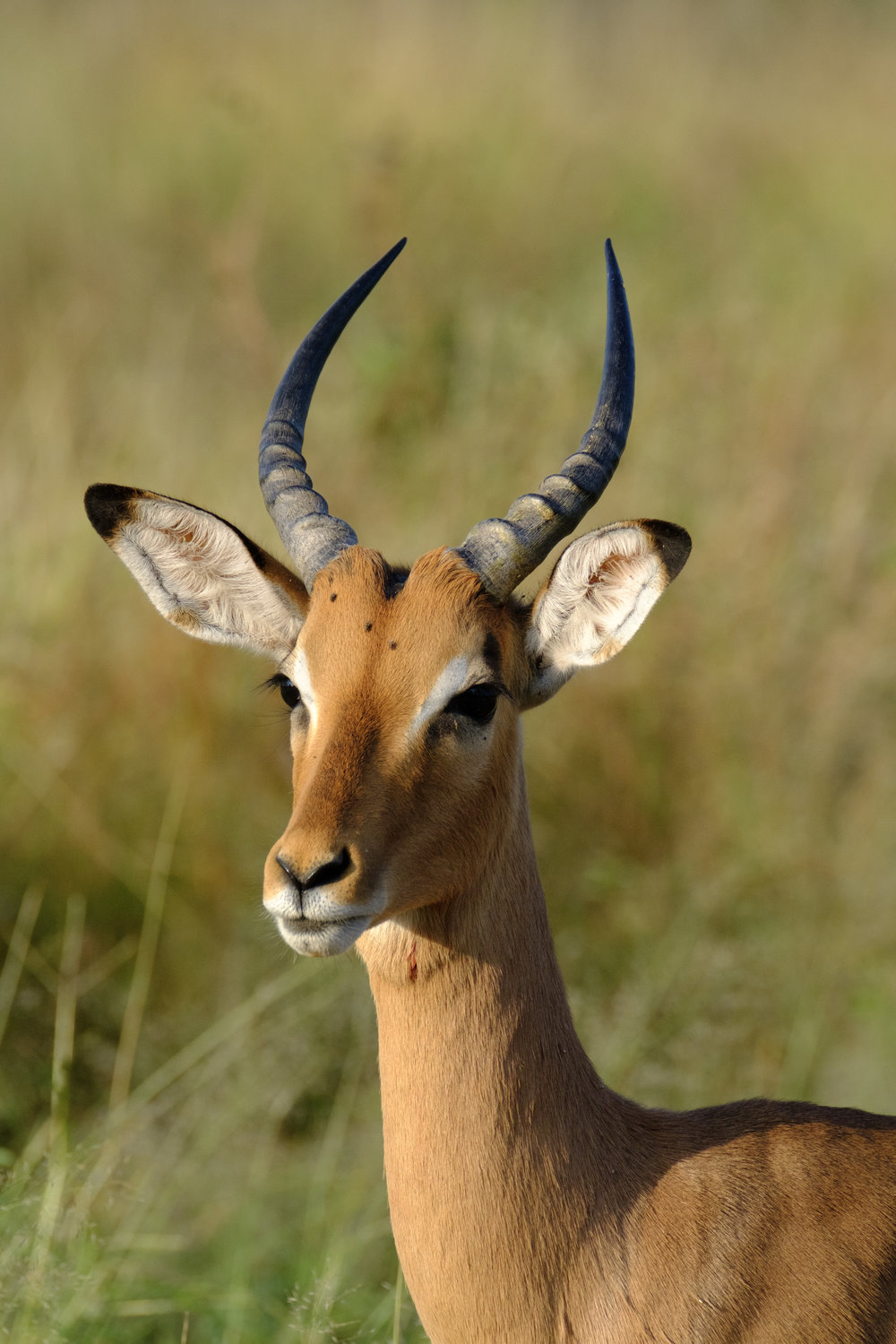 Impala - Fast Food of the Kruger