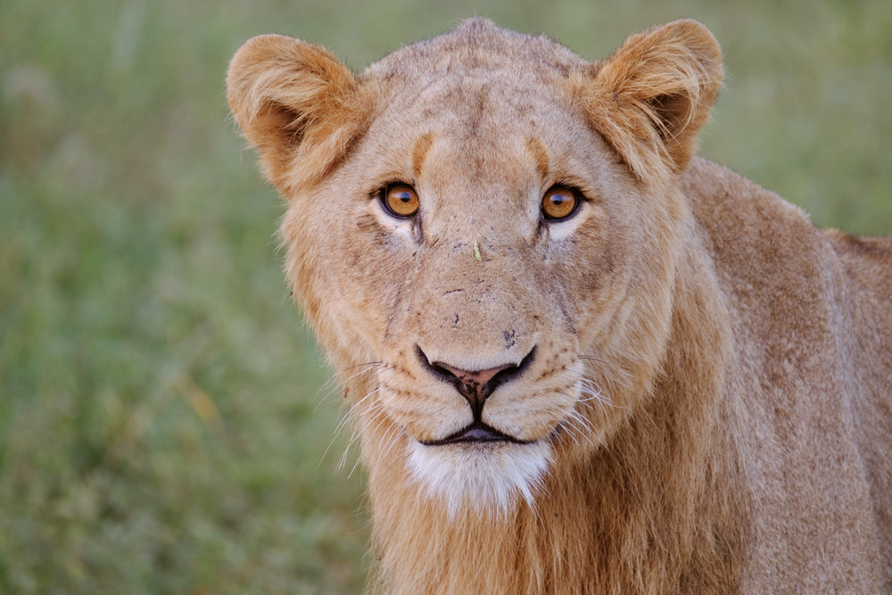 Handsome Juvenile Lion - 560mm