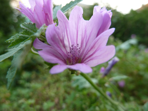 The word   mauve   is the French word for the mallow flower. We think the flower is the best use of the color.