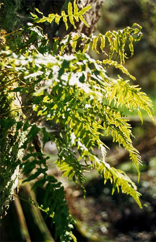 Licorice-Fern-at-LFNA_opt.jpg