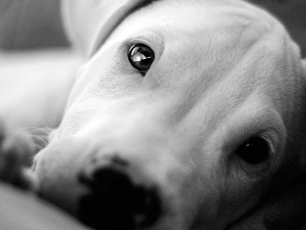 Animals___Dogs_Beautiful_eyes_Dogo_Argentino_049279_ (Medium).jpg