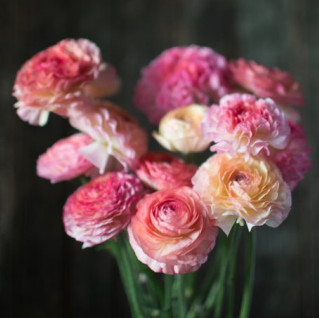 Ranunculus La Belle Pastel Series
