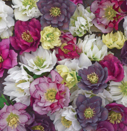 Hellebores Wedding Party Mix
